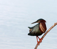 Green Heron Looking Backwards
